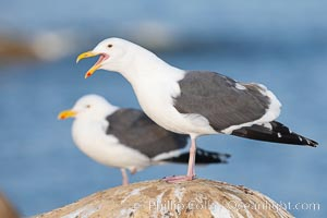 Western gull, calling/vocalizing, adult breeding. La Jolla, California, USA, Larus occidentalis, natural history stock photograph, photo id 18134