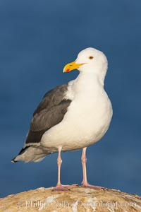 Western gull, adult breeding, Larus occidentalis, La Jolla, California