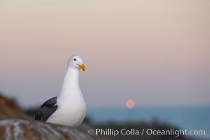 Western gull, moon setting, sunrise, Larus occidentalis, La Jolla, California