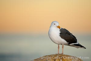 Western gull, early morning orange sky, Larus occidentalis, La Jolla, California