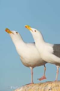 Western gulls, courtship behaviour. La Jolla, California, USA, Larus occidentalis, natural history stock photograph, photo id 18396