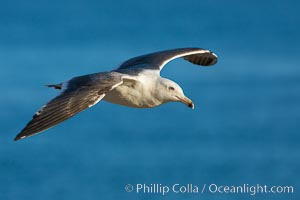 Western gull. La Jolla, California, USA, natural history stock photograph, photo id 28338