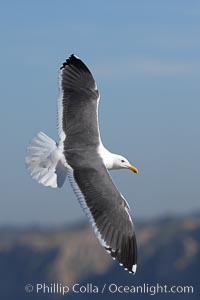 Western gull in flight. La Jolla, California, USA, natural history stock photograph, photo id 20328