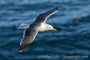 Western Gull in Flight, La Jolla, Larus occidentalis
