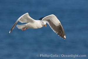 Western gull in flight. La Jolla, California, USA, Larus occidentalis, natural history stock photograph, photo id 18561