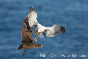 Western gull in flight. La Jolla, California, USA, Larus occidentalis, natural history stock photograph, photo id 18568