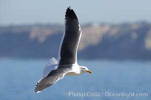 Western gull, Larus occidentalis, La Jolla, California