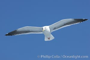 Western gull in flight, Larus occidentalis