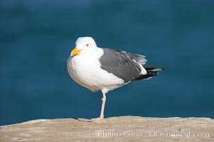 Western gull, adult breeding plumage, note yellow orbital ring around eye, Larus occidentalis, La Jolla, California