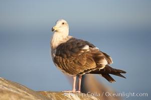 Western gull, juvenile 2nd winter plumage, Larus occidentalis, La Jolla, California