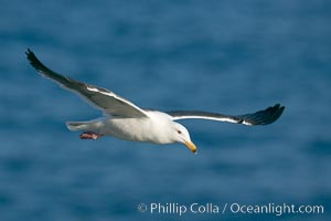 Western gull, flying. La Jolla, California, USA, Larus occidentalis, natural history stock photograph, photo id 15555