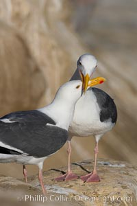 Western gull, courtship display. La Jolla, California, USA, Larus occidentalis, natural history stock photograph, photo id 15556