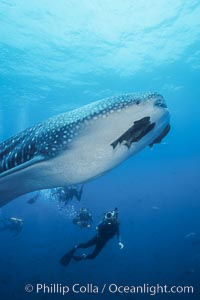 Whale shark. Darwin Island, Galapagos Islands, Ecuador, Rhincodon typus, natural history stock photograph, photo id 01505