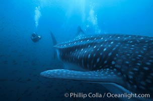 Whale shark. Darwin Island, Galapagos Islands, Ecuador, Rhincodon typus, natural history stock photograph, photo id 01508