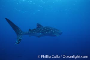 Whale shark. Darwin Island, Galapagos Islands, Ecuador, Rhincodon typus, natural history stock photograph, photo id 01511