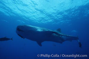 Whale shark. Darwin Island, Galapagos Islands, Ecuador, Rhincodon typus, natural history stock photograph, photo id 01516