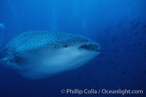Whale shark. Darwin Island, Galapagos Islands, Ecuador, Rhincodon typus, natural history stock photograph, photo id 05017