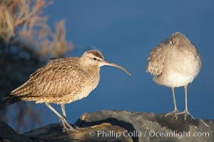 Whimbrel on sand, Numenius phaeopus, San Diego River