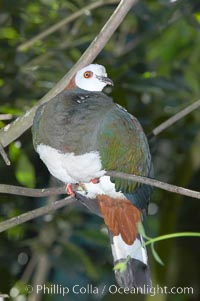 White-breasted imperial pidgeon, native to Sulawesi, Ducula forsteni