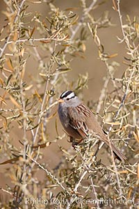White-crowned sparrow. Bosque del Apache National Wildlife Refuge, Socorro, New Mexico, USA, Zonotrichia leucophrys, natural history stock photograph, photo id 21915
