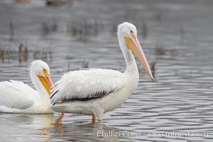 White pelicans, Pelecanus erythrorhynchos, San Elijo Lagoon, Encinitas, California