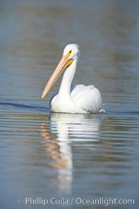 White pelican. Santee Lakes, Santee, California, USA, Pelecanus erythrorhynchos, natural history stock photograph, photo id 20117