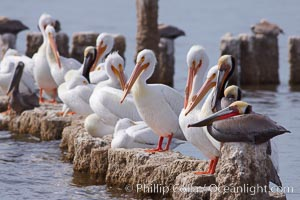 White pelicans and brown pelicans stand together on salt-encrusted pier pilings on the Salton Sea. Salton Sea, Imperial County, California, USA, Pelecanus erythrorhynchos, Pelecanus occidentalis, natural history stock photograph, photo id 22502