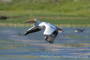 White pelican flies over the Yellowstone River. Hayden Valley, Yellowstone National Park, Wyoming, USA, Pelecanus erythrorhynchos, natural history stock photograph, photo id 13112