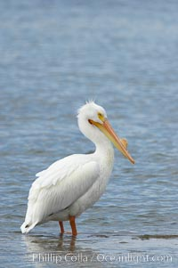 White pelican, breeding adult with fibrous plate on upper mandible of bill, Batiquitos Lagoon. Batiquitos Lagoon, Carlsbad, California, USA, Pelecanus erythrorhynchos, natural history stock photograph, photo id 15649
