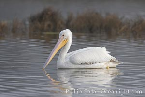 White pelican. San Elijo Lagoon, Encinitas, California, USA, Pelecanus erythrorhynchos, natural history stock photograph, photo id 15719