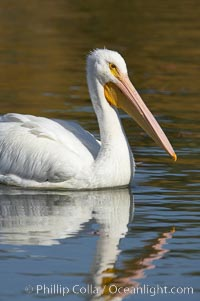 Image 20112, White pelican. Santee Lakes, Santee, California, USA, Pelecanus erythrorhynchos, Phillip Colla, all rights reserved worldwide. Keywords: american white pelican, animal, animalia, aves, bird, california, chordata, erythrorhynchos, pelecanidae, pelecaniformes, pelecanus, pelecanus erythrorhynchos, pelican, santee, santee lakes, usa, vertebrata, vertebrate, white pelican.