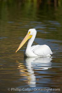 White pelican. Santee Lakes, California, USA, Pelecanus erythrorhynchos, natural history stock photograph, photo id 20115