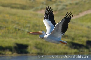 White pelican flies over the Yellowstone River, Pelecanus erythrorhynchos, Hayden Valley, Yellowstone National Park, Wyoming