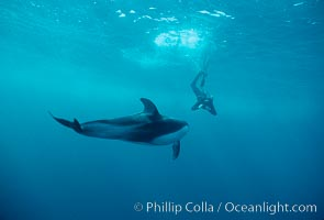 Pacific white sided dolphin. San Diego, California, USA, Lagenorhynchus obliquidens, natural history stock photograph, photo id 00022