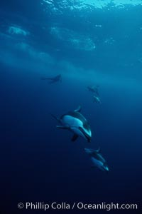 Pacific white sided dolphin. San Diego, California, USA, Lagenorhynchus obliquidens, natural history stock photograph, photo id 00028