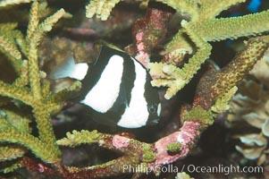 White-tailed damselfish, Dascyllus aruanus