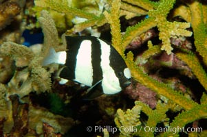 White-tailed damselfish., Dascyllus aruanus, natural history stock photograph, photo id 09438