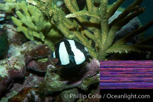 White-tailed damselfish., Dascyllus aruanus, natural history stock photograph, photo id 11846