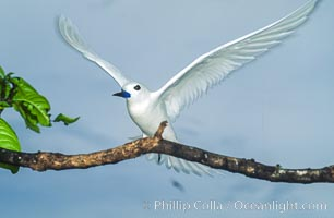 White tern, Rose Atoll National Wildlife Refuge, Fairy tern, Gygis alba, Rose Atoll National Wildlife Sanctuary
