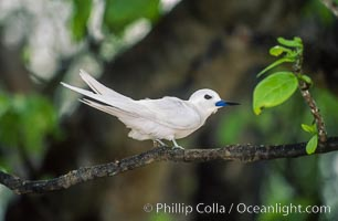 White tern, Rose Atoll National Wildlife Refuge, Fairy tern, Gygis alba. Rose Atoll National Wildlife Sanctuary, American Samoa, USA, natural history stock photograph, photo id 00873