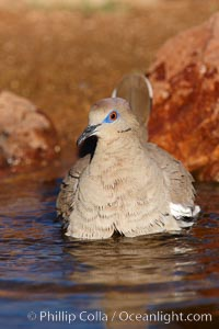 White-winged dove. Amado, Arizona, USA, Zenaida asiatica, natural history stock photograph, photo id 22952