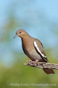 White-winged dove. Amado, Arizona, USA, Zenaida asiatica, natural history stock photograph, photo id 22989