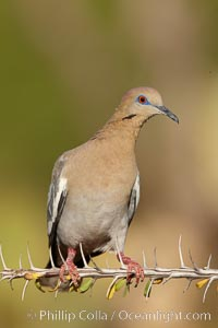 White-winged dove. Amado, Arizona, USA, Zenaida asiatica, natural history stock photograph, photo id 23069
