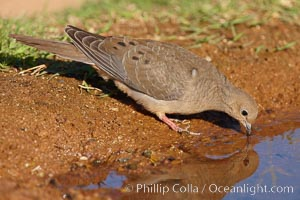 White-winged dove. Amado, Arizona, USA, Zenaida asiatica, natural history stock photograph, photo id 23074