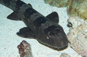 Whitespotted bamboo shark, Chiloscyllium plagiosum