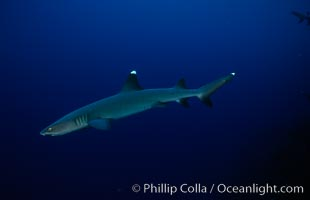 Image 02011, White-tip reef shark. Cocos Island, Costa Rica, Triaenodon obesus, Phillip Colla, all rights reserved worldwide. Keywords: animal, chondrichthyes, cocos island, cocos island national park, costa rica, danger, elasmobranch, elasmobranchii, fear, jaws, ocean, oceans, outdoors, outside, pacific, predator, reef whitetip shark, risk, sea, shark, submarine, triaenodon obesus, underwater, whitetip reef shark, whitetip shark, wildlife, world heritage sites.
