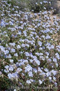 Wild heliotrope, an ephemeral shrub of the Colorado Desert. Joshua Tree National Park, California, USA, Phacelia distans, natural history stock photograph, photo id 09113