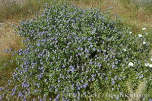 Wild heliotrope, Glorietta Canyon.  Heavy winter rains led to a historic springtime bloom in 2005, carpeting the entire desert in vegetation and color for months. Anza-Borrego Desert State Park, Borrego Springs, California, USA, Phacelia distans, natural history stock photograph, photo id 10935