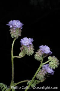 Wild heliotrope blooms in spring, Batiquitos Lagoon, Carlsbad. Batiquitos Lagoon, Carlsbad, California, USA, Phacelia distans, natural history stock photograph, photo id 11693