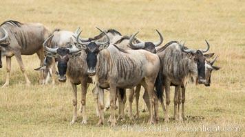 Wildebeest Herd, Amboseli National Park, Kenya, Connochaetes taurinus
